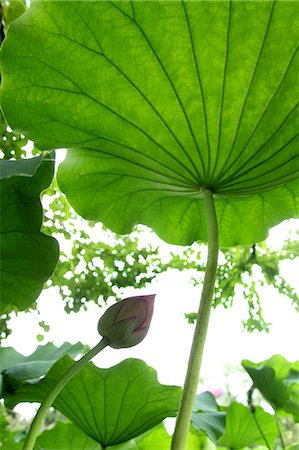 Lotus Leaf Stock Photo - Premium Royalty-Free, Code: 622-06191287