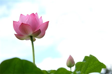 Fresh Lotus Flower Stock Photo - Premium Royalty-Free, Code: 622-06191288