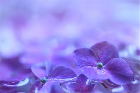 Purple Hydrangea Flowers Stock Photo - Premium Royalty-Free, Code: 622-06191282