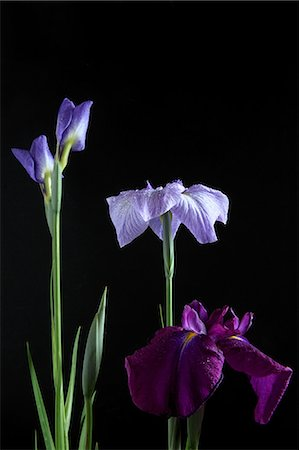 Purple And Blue Flowers On Black Background Stock Photo - Premium Royalty-Free, Code: 622-06191306