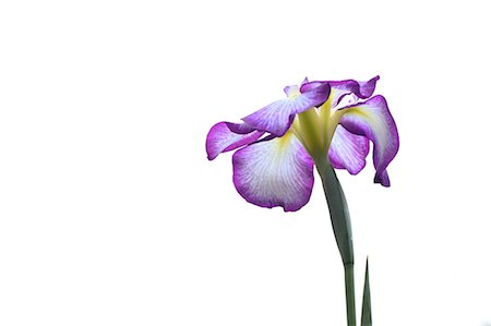 Purple Flower On White Background Stock Photo - Premium Royalty-Free, Code: 622-06191302