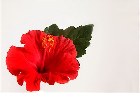 Red Hibiscus On White Background Stock Photo - Premium Royalty-Free, Code: 622-06191335