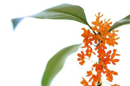 Orange Flowers On White Background Stock Photo - Premium Royalty-Free, Code: 622-06191333