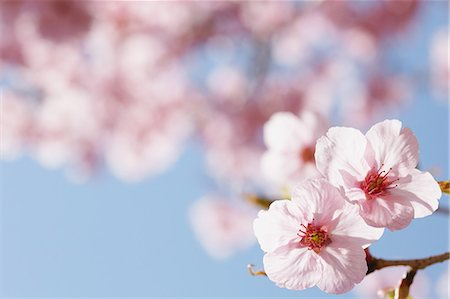 spring background - Close-Up View Of Cherry Blossoms Stock Photo - Premium Royalty-Free, Code: 622-06191355