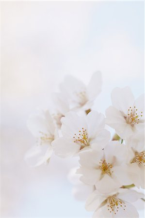 spring background - Close-Up View Of Cherry Blossoms Stock Photo - Premium Royalty-Free, Code: 622-06191356