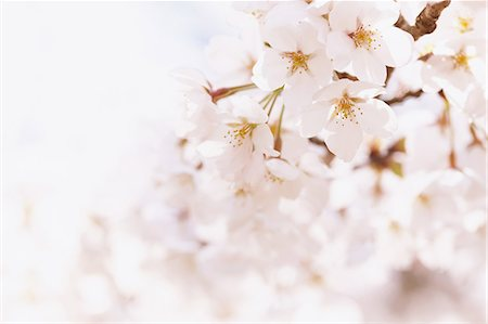 scenic and spring (season) - Close-Up View Of Cherry Blossoms Stock Photo - Premium Royalty-Free, Code: 622-06191357