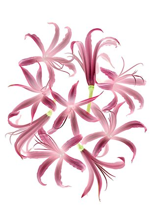 Nerine Stock Photo - Premium Royalty-Free, Code: 622-06369306