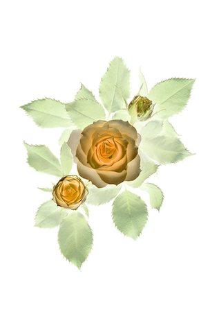 Rose Illustration Stock Photo - Premium Royalty-Free, Code: 622-06369309