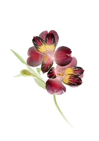 Close up of Alstroemeria Stock Photo - Premium Royalty-Free, Code: 622-06369303