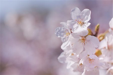 scenic and spring (season) - Cherry Blossoms Stock Photo - Premium Royalty-Free, Code: 622-06369702