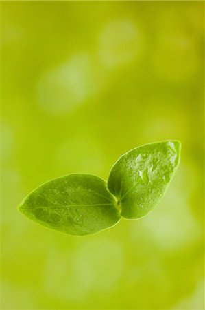 sprout - Double leaf Stock Photo - Premium Royalty-Free, Code: 622-06369713