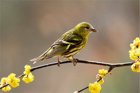 Female bird on Japanese Spicebush Stock Photo - Premium Royalty-Free, Code: 622-06369897