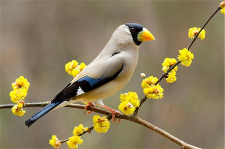 Grosbeak on Japanese Spicebush branch Stock Photo - Premium Royalty-Free, Code: 622-06369898