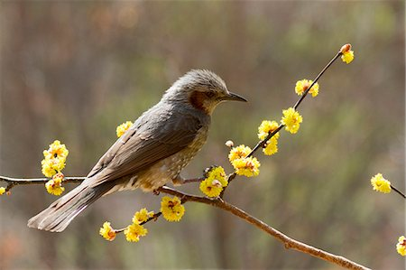 Brown-eared Bulbul on Japanese Spicebush branch Stock Photo - Premium Royalty-Free, Code: 622-06369899