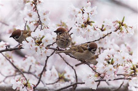 Sparrows surrounded by cherry blossoms Stock Photo - Premium Royalty-Free, Code: 622-06369890