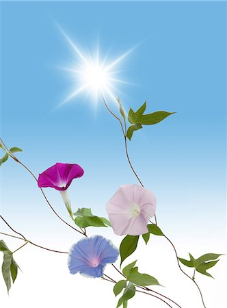 Japanese morning glory and light Stock Photo - Premium Royalty-Free, Code: 622-06370008
