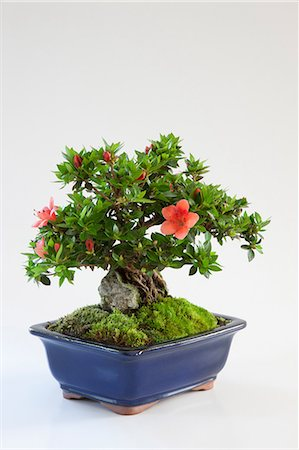potted plant - Mini bonsai of Azalea Stock Photo - Premium Royalty-Free, Code: 622-06370073