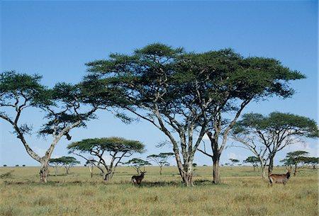 serengeti national park - Water tapir Stock Photo - Premium Royalty-Free, Code: 622-06370277