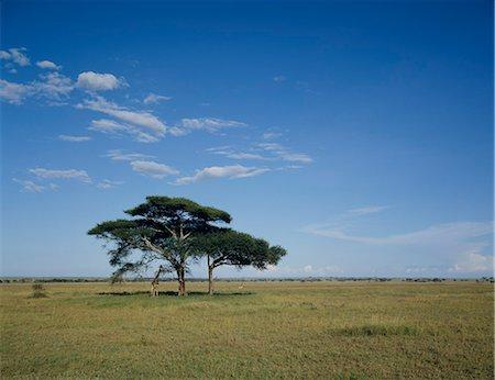 serengeti national park - Giraffe Stock Photo - Premium Royalty-Free, Code: 622-06370279