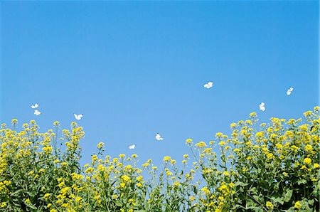 photography - Butterflies fluttering over a rape field Stock Photo - Premium Royalty-Free, Code: 622-06370328