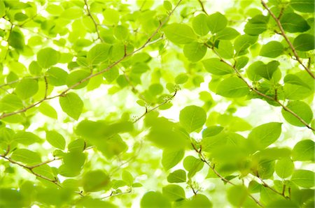 spring background - Close up of green leaves Stock Photo - Premium Royalty-Free, Code: 622-06370333
