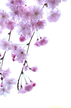 Cherry blossoms Stock Photo - Premium Royalty-Free, Code: 622-06370359