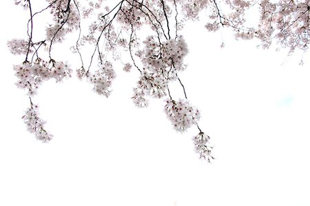 Cherry blossoms Stock Photo - Premium Royalty-Free, Code: 622-06370370