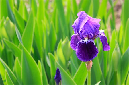 Close up of Iris Stock Photo - Premium Royalty-Free, Code: 622-06397952