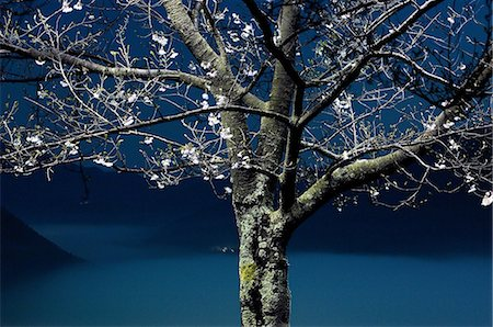 Tree at night in Asago, Hyogo Stock Photo - Premium Royalty-Free, Code: 622-06398086