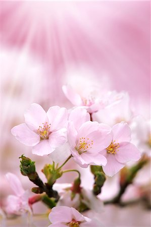 Close up of cherry blossoms in full bloom Stock Photo - Premium Royalty-Free, Code: 622-06398087