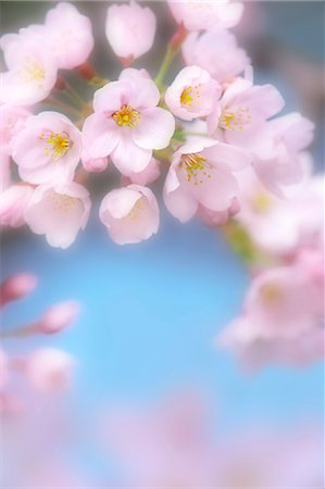 Close up of cherry blossoms in full bloom Stock Photo - Premium Royalty-Free, Code: 622-06398091