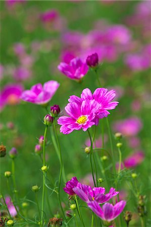 Close up of Cosmos flowers Stock Photo - Premium Royalty-Free, Code: 622-06439570