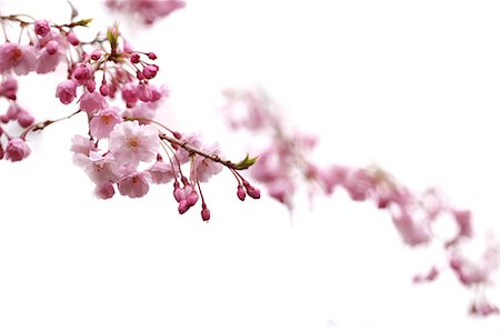 Close up of cherry blossoms Stock Photo - Premium Royalty-Free, Code: 622-06439678