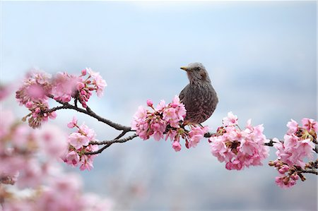 Wild bird on cherry tree branch and cherry blossoms Stock Photo - Premium Royalty-Free, Code: 622-06439685