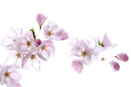 Close up of cherry blossoms Stock Photo - Premium Royalty-Free, Code: 622-06439688