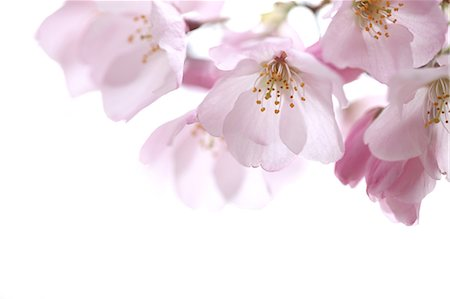 Close up of cherry blossoms Stock Photo - Premium Royalty-Free, Code: 622-06439689