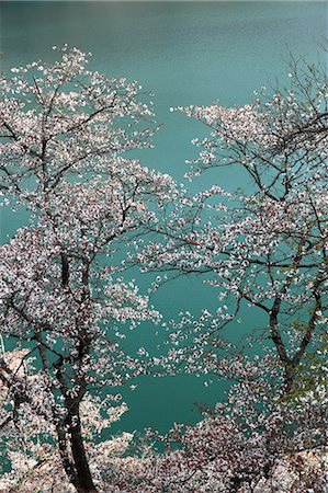 scenic and spring (season) - Cherry blossoms and lake in the background Stock Photo - Premium Royalty-Free, Code: 622-06439681