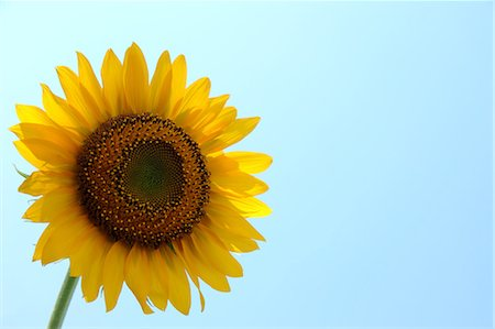 stem - Close up of sunflower and blue sky Stock Photo - Premium Royalty-Free, Code: 622-06439748