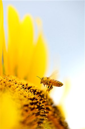Close up of sunflower and bee Stock Photo - Premium Royalty-Free, Code: 622-06439741