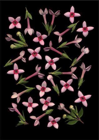 Bouvardia flowers on black background Stock Photo - Premium Royalty-Free, Code: 622-06486693