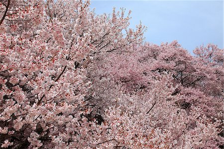 Cherry blossoms and blue sky Stock Photo - Premium Royalty-Free, Code: 622-06487077