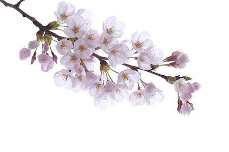 Cherry blossoms Stock Photo - Premium Royalty-Free, Code: 622-06487326