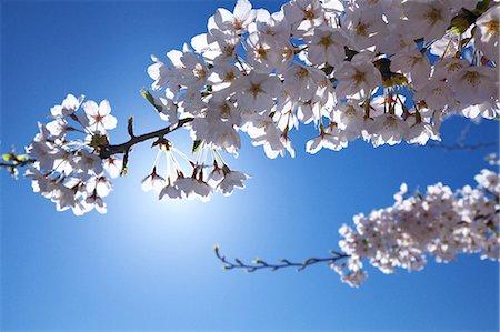 sakura tree - Cherry blossoms and blue sky Stock Photo - Premium Royalty-Free, Code: 622-06487437