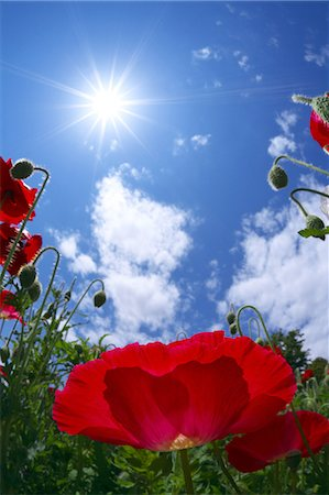 Poppy flowers and blue sky Stock Photo - Premium Royalty-Free, Code: 622-06487475