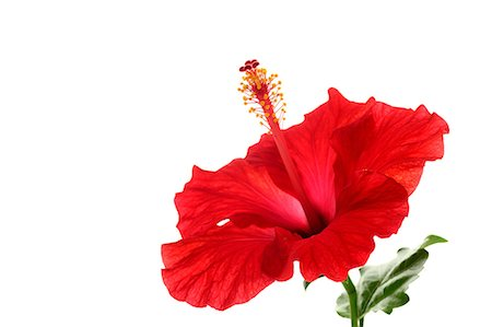 Hibiscus Stock Photo - Premium Royalty-Free, Code: 622-06487678