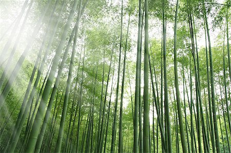 Bamboo forest and sunlight Stock Photo - Premium Royalty-Free, Code: 622-06548629