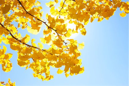 shiny - Yellow leaves and sunlight Stock Photo - Premium Royalty-Free, Code: 622-06548791