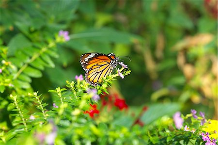 feather  close-up - Common Tiger butterfly Stock Photo - Premium Royalty-Free, Code: 622-06548839