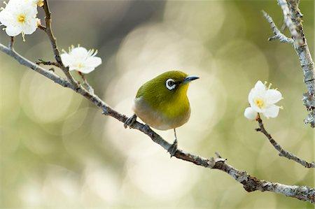 single fruits tree - Japanese White Eye and plum flowers Stock Photo - Premium Royalty-Free, Code: 622-06548974