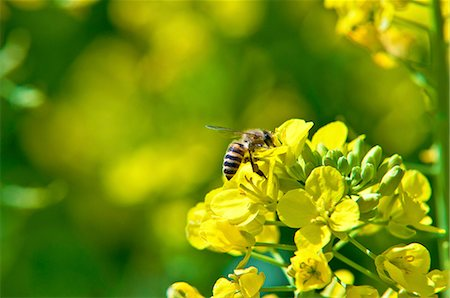 Bee on rape flower Stock Photo - Premium Royalty-Free, Code: 622-06549432